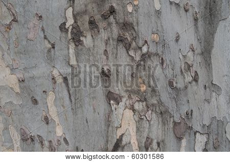 Bark Of Cycamore