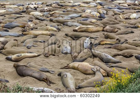 California Elephant Seals in Piedras Blancas point in South Big Sur inn Pacific Highway 1
