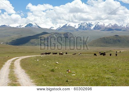 Cows pasturint in the mountains, Tien Shan