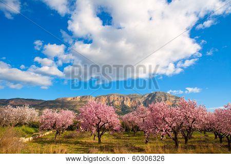 Mongo in Denia Javea in spring with almond tree flowers Alicante Spain