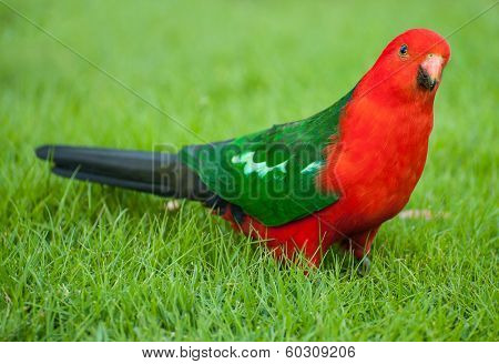 Curious Australian King-parrot (Alisterus scapularis) on the grass, seen near Apollo Bay on the Grat Ocean Road, Victoria - Australia.