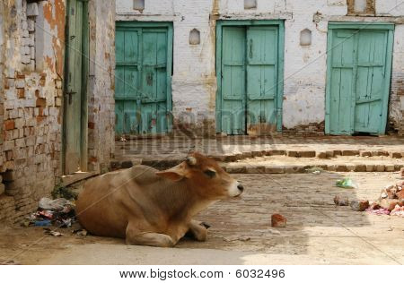 Holy Animal In India Is A Cow, They Live Freely On The Streets And Cannot Be Hurt