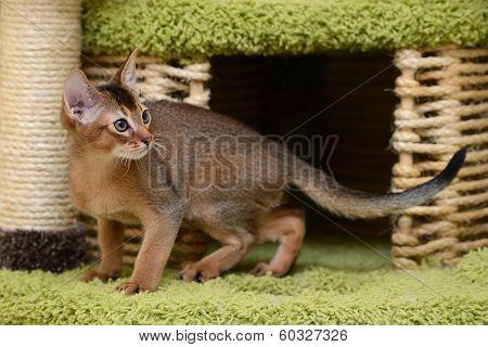 Portrait Of A Cute Abyssinian Kitten