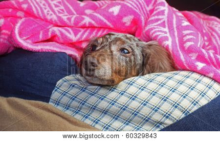 Snug Double Dapple Doxie