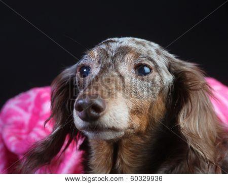 Longhair Rescue Doxie Snug