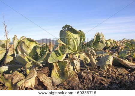Rotting Cabbage