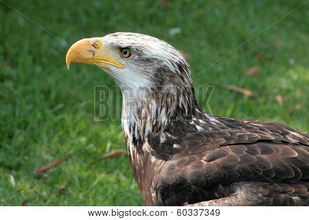 Female Immature Bald Eagle