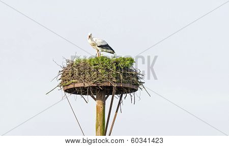 Stork standing in its nest in winter