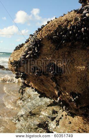 Sea rock and mussels