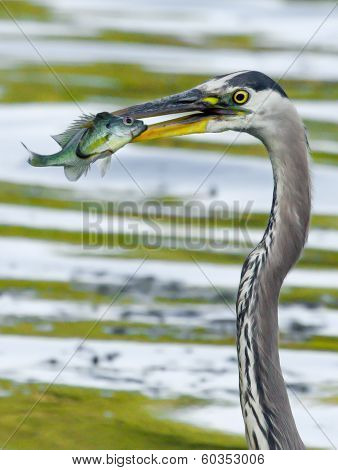 Great Blue Heron Catches A Bluegill In Soft Focus