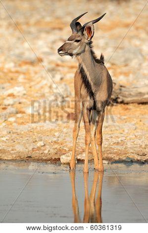 Kudu antelope (Tragelaphus strepsiceros) at a waterhole, Etosha National Park, Namibia