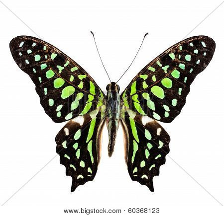 Tailed Jay Butterfly, The Green Spotted Butterfly, Purely Isolated On White Background