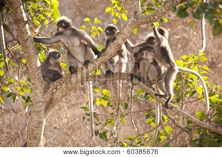 Monkey Family Sitting On Tree Resting ( Presbytis Obscura Reid ).