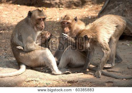 Monkey Family Sitting On Ground ( Macaca Fascicularis ).
