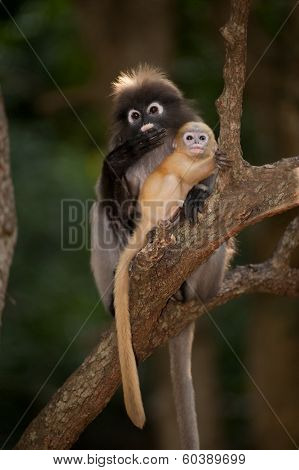 Mother And Son Monkeys Are Mischievous ( Presbytis Obscura Reid ).