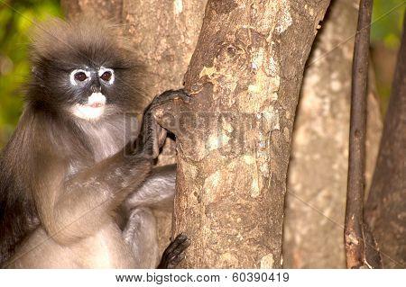 Portrait Monkey On Tree ( Presbytis Obscura Reid ) .