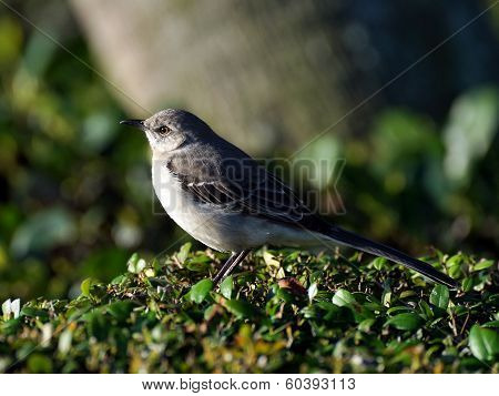 Northern Mockingbird Up Close