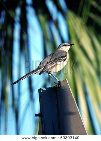 Northern Mockingbird Perching on Street Sign