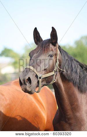 Black Horse Taking A Deep Breath Of Air