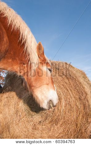 Belgian draft horse eating hay off a large round bale in winter