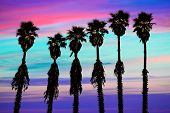 image of washingtonia  - california sunset palm trees washingtonia western surf flavour in US - JPG