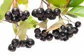 picture of chokeberry  - Branch black chokeberry close up it is isolated on a white background - JPG