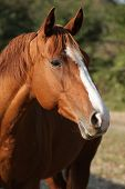 stock photo of chestnut horse  - Portrait of beautiful chestnut quarter horse on pasturage in autumn - JPG