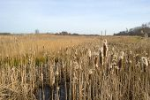 pic of bulrushes  - Bulrush in a field with reed in winter - JPG