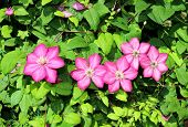 picture of loach  - Several flowers of pink clematis in the garden - JPG