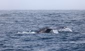 stock photo of whale-tail  - Closeup view of a whale tail in open sea