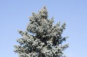 picture of blue spruce  - The top of blue spruce against the blue sky - JPG