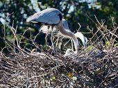 Great Blue Herons Caring for Babies in Nest