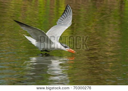 A Caspian Tern (hydroprogne Caspia) Gliding Low Over Fresh Water Ready To Scoop Up A Drink