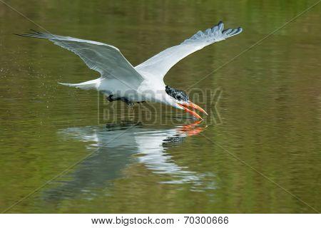 A Caspian Tern (hydroprogne Caspia) Scooping Up A Drink Of Water In Flight