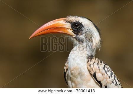 A Portrait Of A  Western Red-billed Hornbill (tockus Erythrorhynchus)