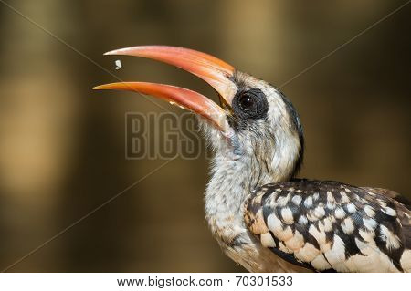 A Western Red-billed Hornbill (tockus Erythrorhynchus) Tossing Up Some Rice To Eat