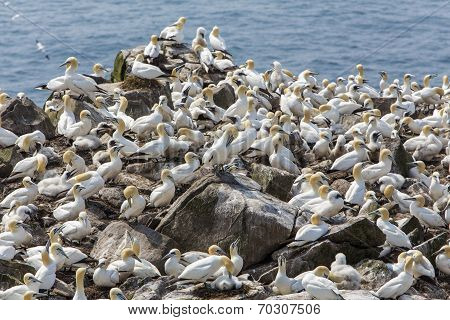 Northern gannet nesting colony, Newfoundland