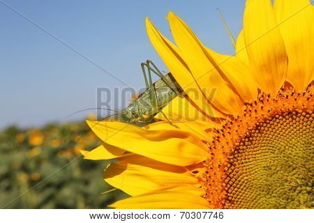 Locust on sunflower - garden and field pests
