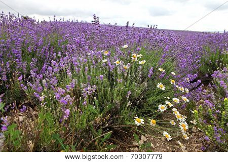 Lavender and daisy flowers