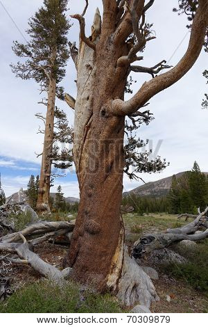 Contorted Tree in Yosemite