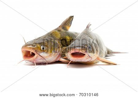 Catfish isolated on white
