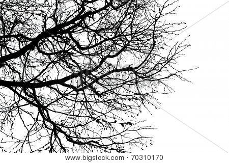 black silhouette of branches of a tree,  isolated on the white.