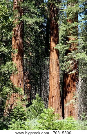 California's sequoia trees are some of the oldest and largest trees on earth. ** Note: Soft Focus at 100%, best at smaller sizes