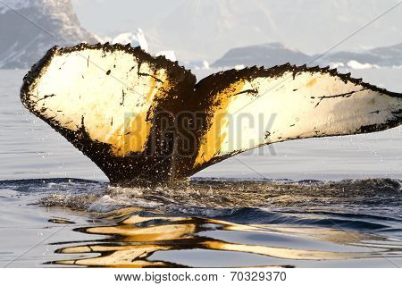 Humpback Whale Tail Diving In Antarctic Waters On A Sunny Summer Day
