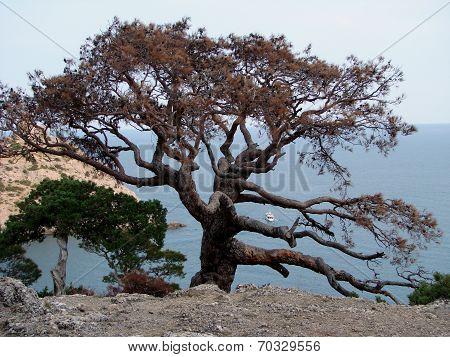 Pine relict