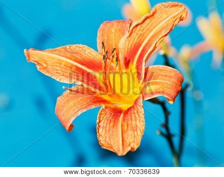 Orange Flower Of Lily Close Up Outdoors