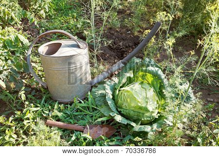 Scoop, Watering Can And Cabbage In Garden