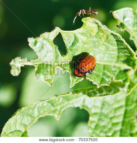 Ten-lined Potato Beetle Larva Eating Potatoes