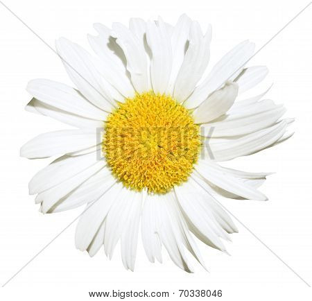 Ox-eye Daisy Flower Close Up Isolated