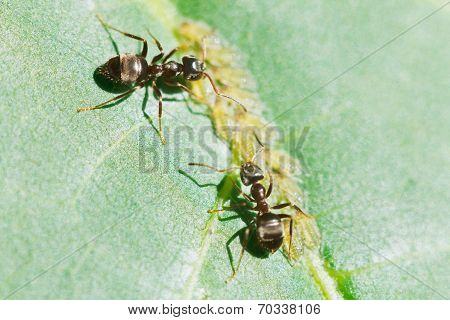 Two Ants Tending Aphids Group On Leaf